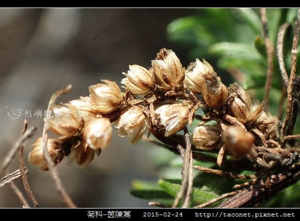 菊科-茵陳蒿_13.jpg