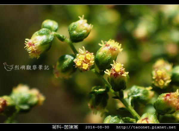 菊科-茵陳蒿_14.jpg