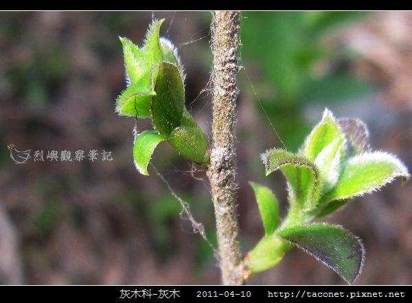 灰木科-灰木_08.jpg