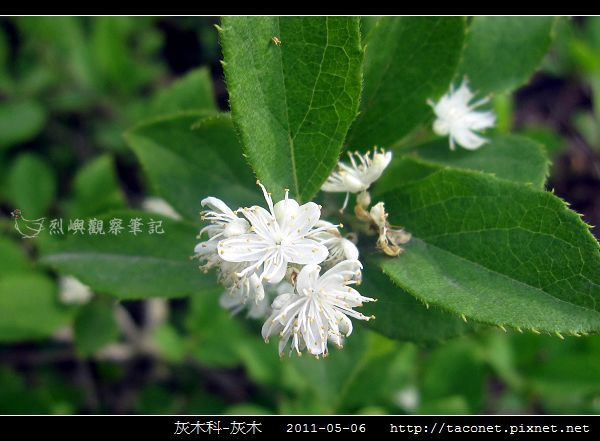 灰木科-灰木_12.jpg