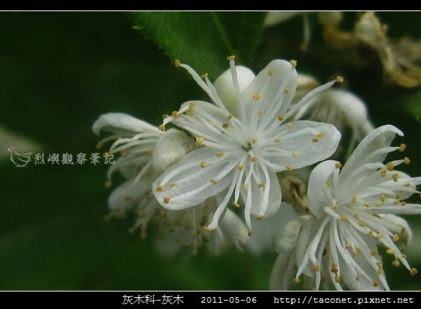 灰木科-灰木_13.jpg