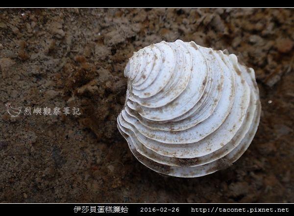 伊莎貝蛋糕簾蛤 Placamen isabellina_09.jpg