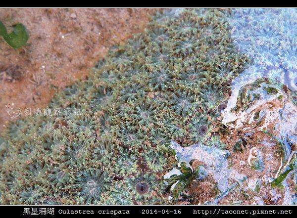 黑星珊瑚 Oulastrea crispata_01.jpg