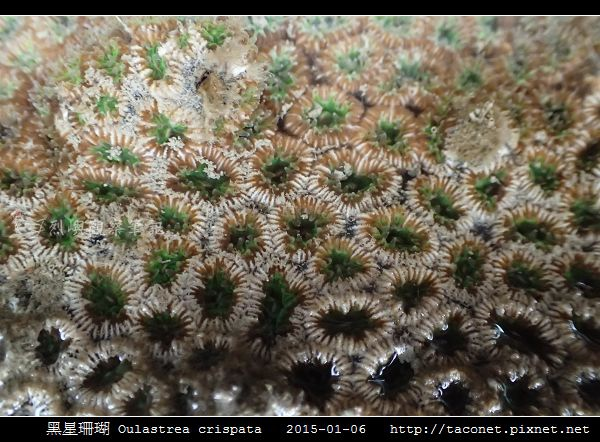 黑星珊瑚 Oulastrea crispata_03.jpg