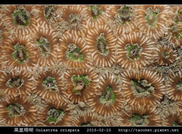 黑星珊瑚 Oulastrea crispata_07.jpg