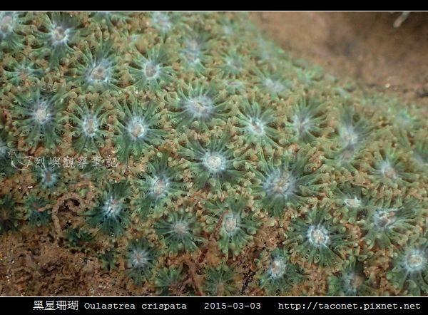 黑星珊瑚 Oulastrea crispata_12.jpg