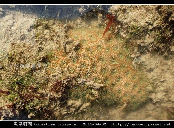 黑星珊瑚 Oulastrea crispata_13.jpg