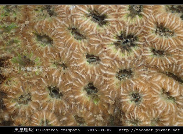 黑星珊瑚 Oulastrea crispata_14.jpg