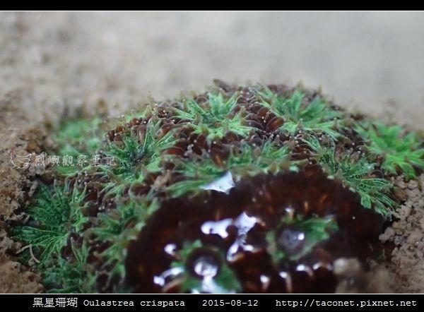 黑星珊瑚 Oulastrea crispata_17.jpg