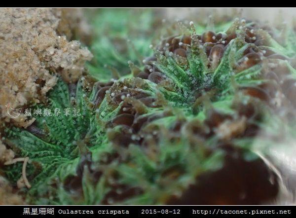 黑星珊瑚 Oulastrea crispata_18.jpg