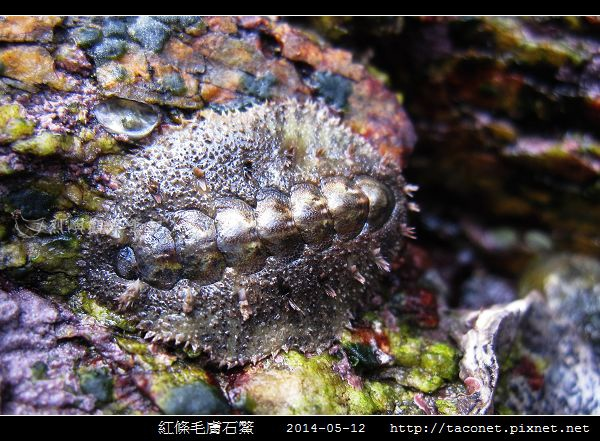 紅條毛膚石鱉 Acanthochiton rubrolineatus_02.jpg