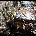 紅條毛膚石鱉 Acanthochiton rubrolineatus_05.jpg