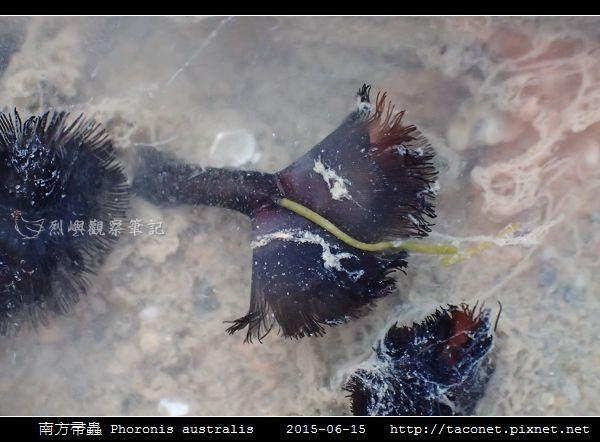 南方帚蟲 Phoronis australis_02.jpg