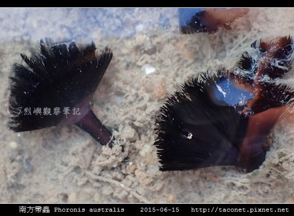 南方帚蟲 Phoronis australis_04.jpg