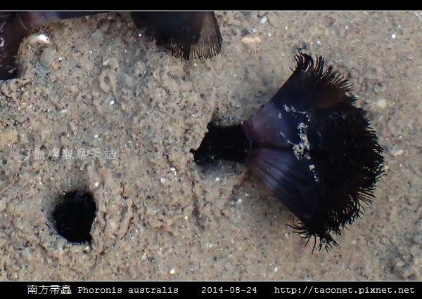 南方帚蟲 Phoronis australis_09.jpg