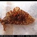 黑斑海兔 Aplysia kurodai _02.jpg