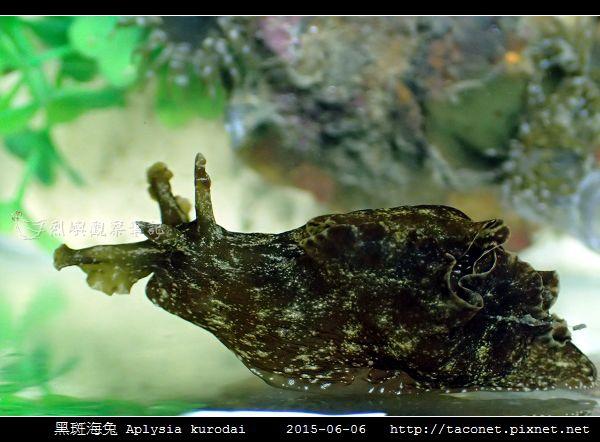 黑斑海兔 Aplysia kurodai _04.jpg