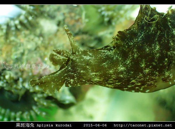 黑斑海兔 Aplysia kurodai _05.jpg