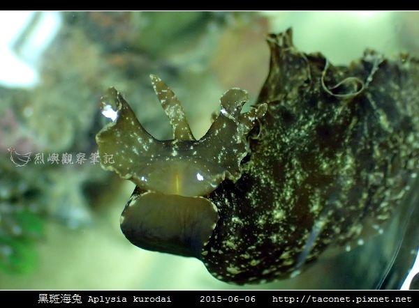 黑斑海兔 Aplysia kurodai _06.jpg