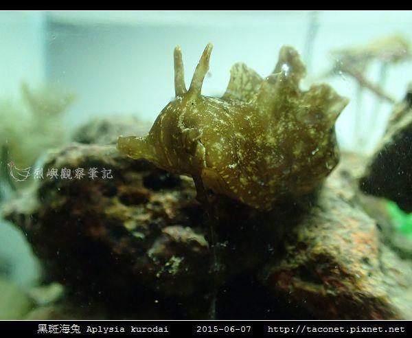 黑斑海兔 Aplysia kurodai _08.jpg