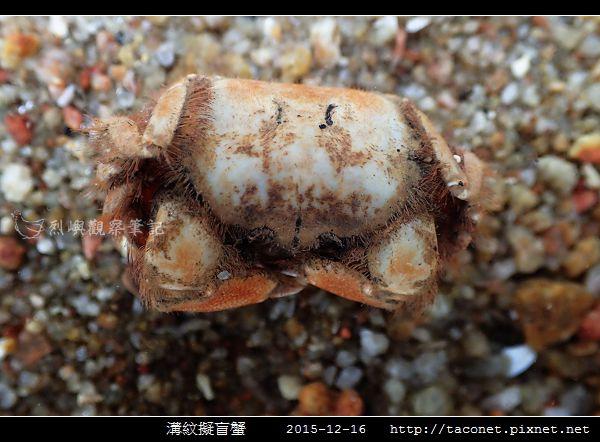 溝紋擬盲蟹_01.jpg