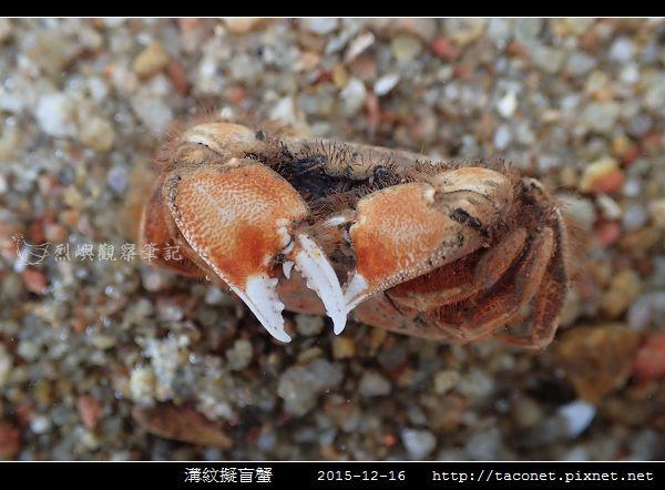 溝紋擬盲蟹_02.jpg