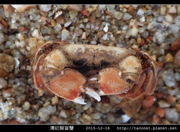 溝紋擬盲蟹_03.jpg