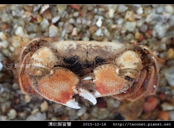 溝紋擬盲蟹_04.jpg