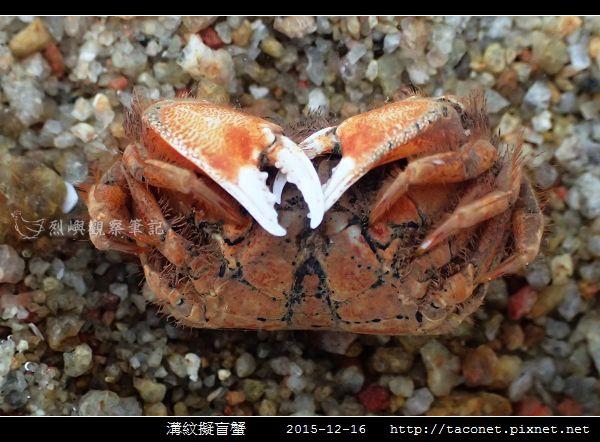 溝紋擬盲蟹_05.jpg