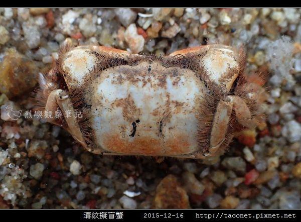 溝紋擬盲蟹_06.jpg
