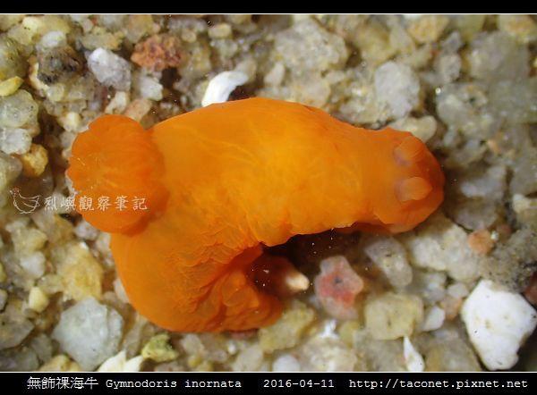 無飾祼海牛 Gymnodoris inornata_06.jpg