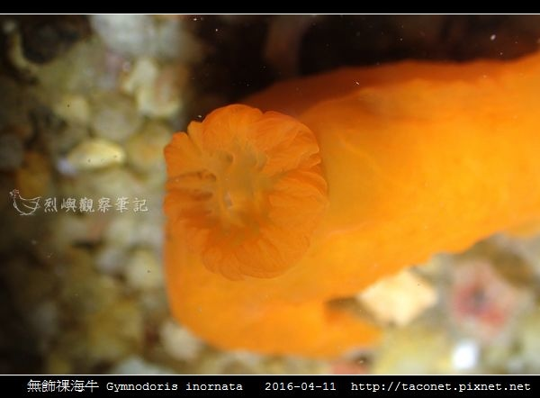 無飾祼海牛 Gymnodoris inornata_07.jpg