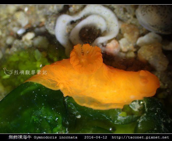 無飾祼海牛 Gymnodoris inornata_11.jpg