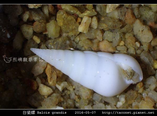 白瓷螺 Balcis grandis_05.jpg