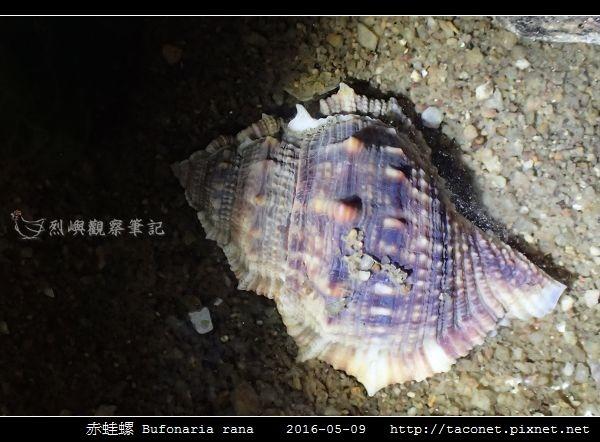 赤蛙螺 Bufonaria rana_01.jpg