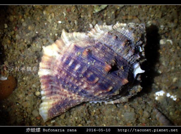 赤蛙螺 Bufonaria rana_02.jpg