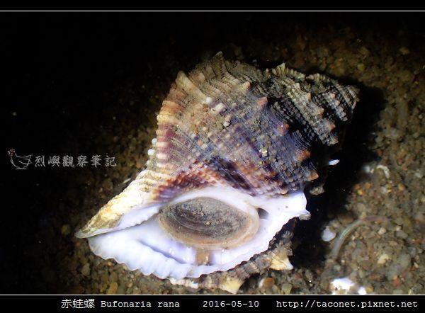 赤蛙螺 Bufonaria rana_03.jpg