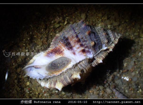 赤蛙螺 Bufonaria rana_05.jpg