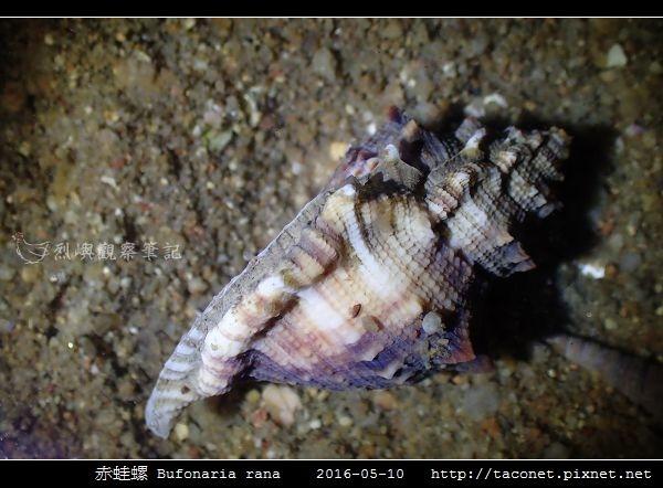 赤蛙螺 Bufonaria rana_06.jpg