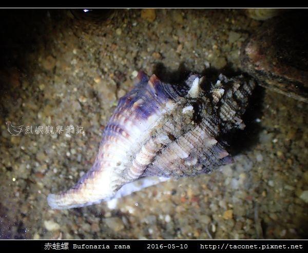赤蛙螺 Bufonaria rana_07.jpg