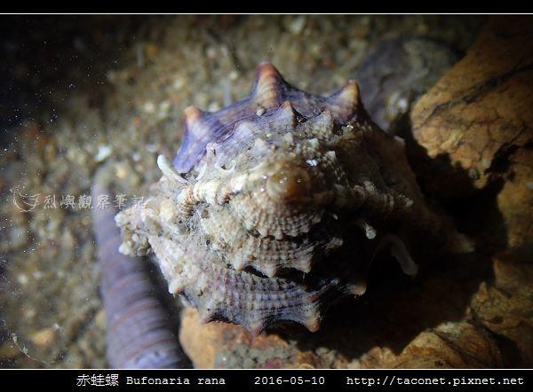 赤蛙螺 Bufonaria rana_09.jpg