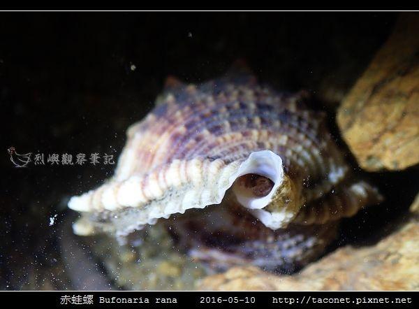赤蛙螺 Bufonaria rana_10.jpg