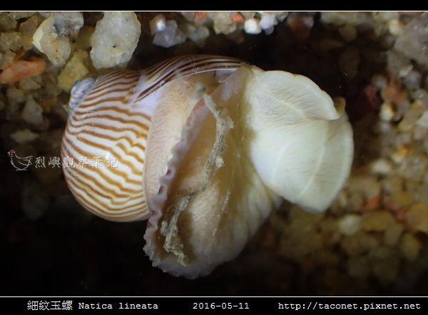 細紋玉螺 Natica lineata_05.jpg