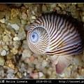 細紋玉螺 Natica lineata_06.jpg