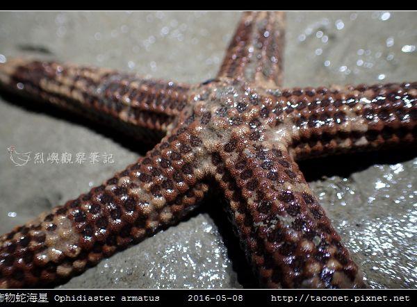 飾物蛇海星 Ophidiaster armatus_03.jpg