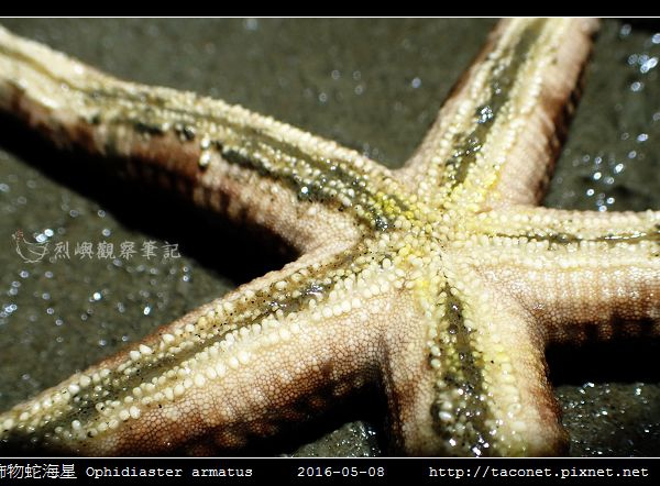 飾物蛇海星 Ophidiaster armatus_04.jpg