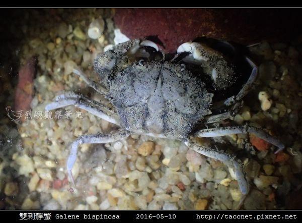 雙刺靜蟹 Galene bispinosa_01.jpg