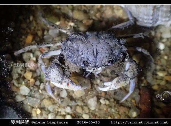 雙刺靜蟹 Galene bispinosa_02.jpg
