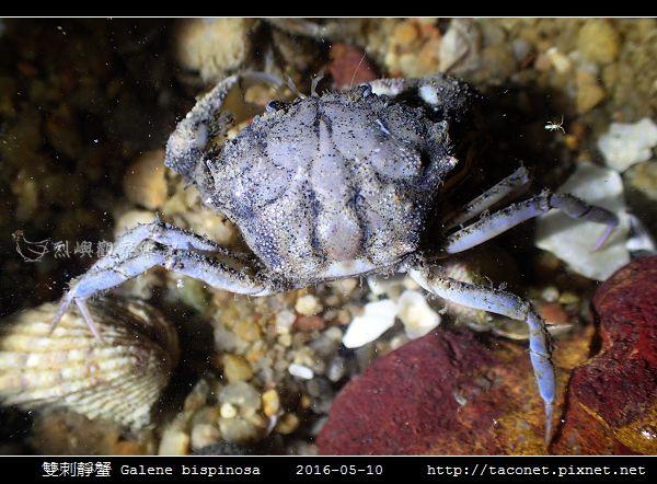 雙刺靜蟹 Galene bispinosa_04.jpg