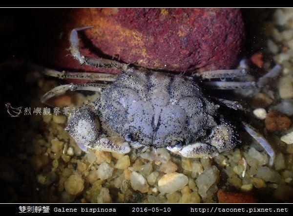 雙刺靜蟹 Galene bispinosa_05.jpg